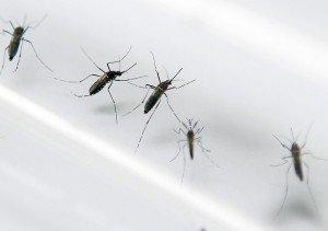 Aedes aegypti, mosquito transmissor da dengue, zika e da febre chikungunya