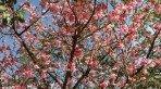 Flores da cerejeira (Sakura)